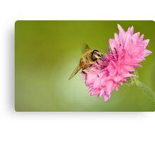 Hoverfly on Cornflower Canvas Print