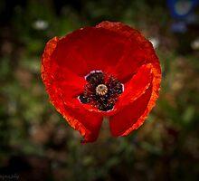 Single floating Poppy by KSKphotography
