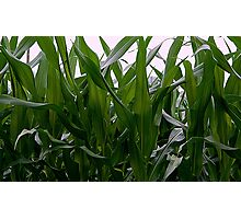 Corn Field - Up Close and Personal Photographic Print