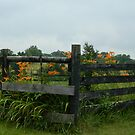 By the Fence - Daylilies     ^ by ctheworld