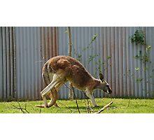 Kangaroo @ The Columbus ZOO & Aquarium  Photographic Print