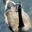 Canada Goose Curious by Ian Phares