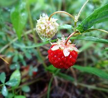 wild strawberries by vigor