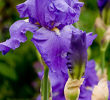 The Purple Iris by thomr