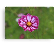 Purple cosmos flower Canvas Print