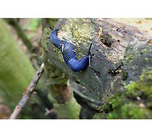 blue slug Photographic Print