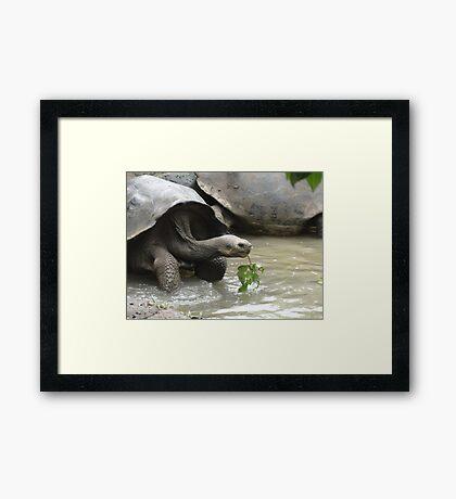 Galapagos turtule, Galapagos tortoise Framed Print