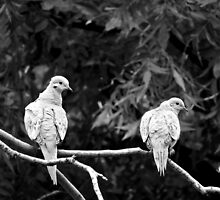 A PAIR OF TURTLE DOVES by Sandra  Aguirre