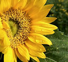 RAINDROPS ON A SUNFLOWER by Sandra  Aguirre
