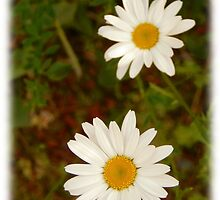 Wild Daisies by MichaelWick