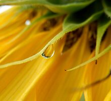 SINGLE RAIN DROP ON A SUNFLOWER by Sandra  Aguirre