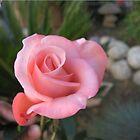pink rose by Elisabeth Dubois