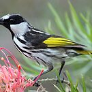 White-cheeked Honeyeater by triciaoshea