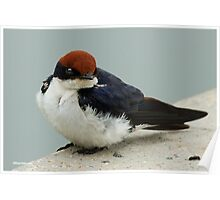 WIRE TAILED SWALLOW – Hirundo smithii - DRAADSTERT SWAEL Poster