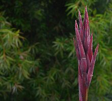 Canna flower by ndarby1