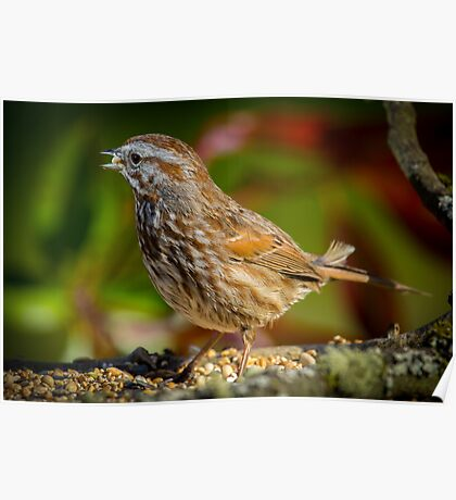 Song Sparrow Poster