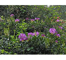 Rhododendrons - London Temple Photographic Print