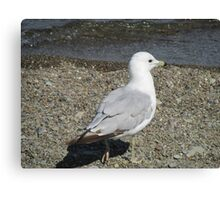 Lake Erie Loner Seagull Canvas Print