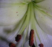 Lily Stamens 2 by lezvee