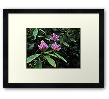 Opening Rhododendron Buds Framed Print