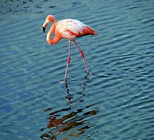 Stalking Flamingo In The Galapagos by Al Bourassa