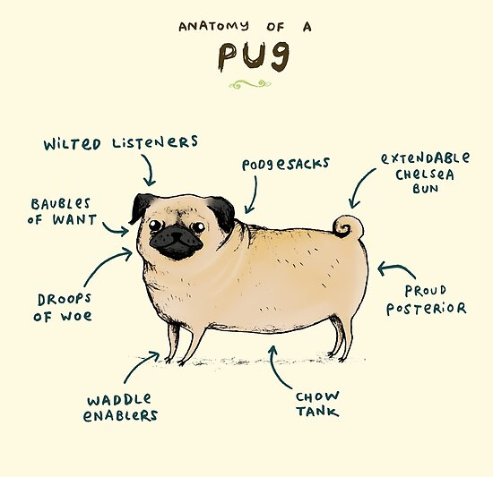 """Anatomy of a Pug"" by Sophie Corrigan 
