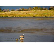 Geese and goslings Photographic Print