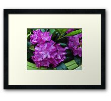 Vibrant Rhododendron Blossoms Framed Print