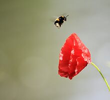 Bee and poppy by photogliveco
