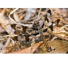Common Whitetail (Plathemis lydia) Photographic Print
