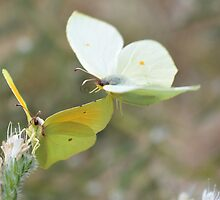 Butterflies in the sun by AroundOurWorld