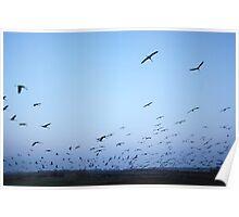 Common crane (Grus grus). Poster