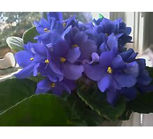 Blue Violets In The Window Photographic Print
