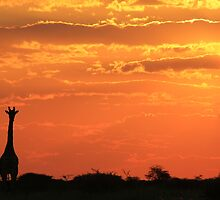 Giraffe - Love of Sunsets - African Wildlife Background by LivingWild