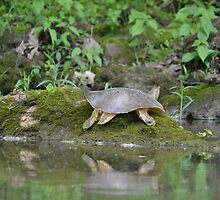 Spiny Softshell Turtle by Kate Farkas