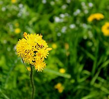 Yellow Hawkweed by Kathleen Daley