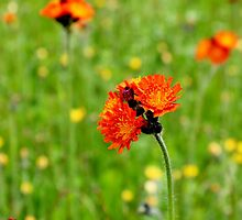 Orange Hawkweed by Kathleen Daley