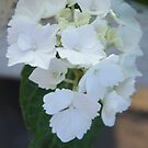 Hydrangea White by liesbeth