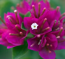 Tiny White Flower of Purple Bougainvillea by Vedangi Shinde