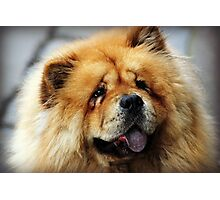 Chow Chow Photographic Print