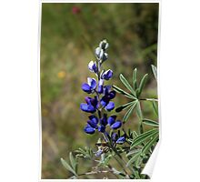 Lupine on a Mountain Poster