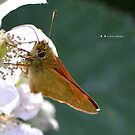 """ Small Skipper "" by Richard Couchman"