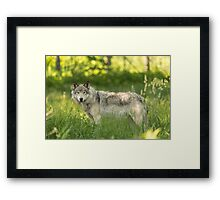 Timber wolf in a forest, Montobello, QC Framed Print