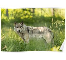 Timber wolf in a forest, Montobello, QC Poster