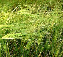 Barley by Ana Belaj