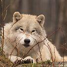 A resting Arctic Wolf - Montobello, QC by Josef Pittner