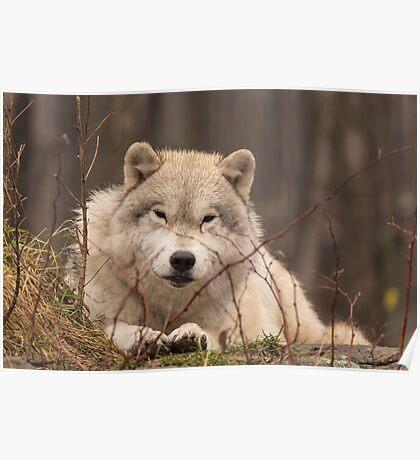 A resting Arctic Wolf - Montobello, QC Poster
