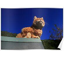 Ginger cat sunbathing Poster