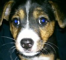 Cute Jack Russel Puppy! by TinyButterz117