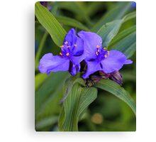 Blue Spiderwort Canvas Print